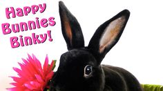 Cute & Funny Happy Bunnies Binkying: House Rabbits Binky When they are H...