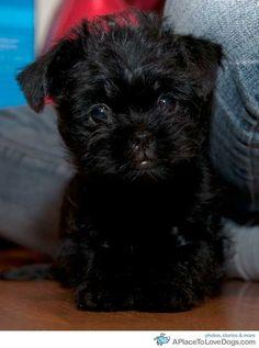 Affenpinscher Puppy! #dog #animal #affenpinscher