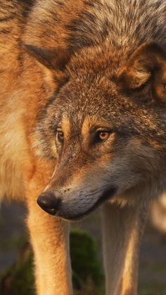 Beautiful Wolves, Beautiful Nature Scenes, Animals Beautiful, Wolf Photos, Wolf Pictures, Red Wolves, Wolves In Love, Wolf Life, Wolf Photography