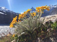 Senecio halleri, Matterhorn