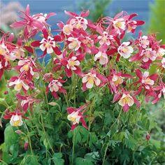 Aquilegia caerulea Crimson Star - 1 plant