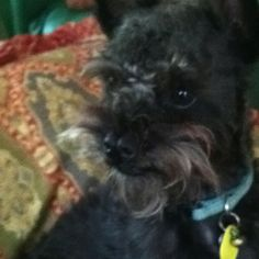 Oliver  (A Chihuahua and Miniature poodle mix) is looking for Easter eggs (he also has a cleft pallet)