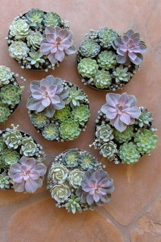 succulent rental centerpieces with Echeveria 'Perle von Nurnberg', Pachyveria glauca 'Little Jewel', Sedum spathulifolium 'Capo Blanco', Echeveria 'Lola', Echeveria minima, Echeveria 'Dondo', Echeveria 'Lime and Chile', Echeveria 'Ramillette', Graptoveria 'Moonglow', and Echeveria ciliata by Floral Verde LLC, Pheonix, AZ