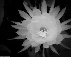 Night-blooming cereus; Christ in Manger or Cradle flower - Night Blooming Flower (b) by citizenlouie, via Flickr