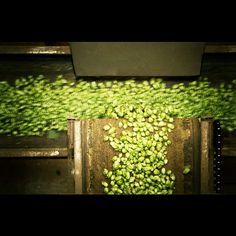 Rogue Ales Hop Harvest Step 4 of 8: Sorting. Once the hops are stripped and separated, everything is run through a series of conveyor belts, dribble belts, and fans. Coming out on the other end will be nice, clean cones. This technology hasn't changed since the 1980s.