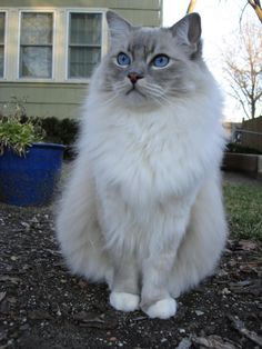 The ragdoll cat is a large breed of cat, best known for its easygoing and mellow nature. Wonderful Caring for a Ragdoll Cat Ideas. Pretty Cats, Beautiful Cats, Cute Cats And Kittens, Kittens Cutest, I Love Cats, Cool Cats, Animals And Pets, Cute Animals, Animal Gato