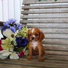 Cavalier King Charles Spaniel Puppies for Sale | Lancaster Puppies …