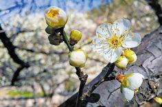 매화 Japanese Apricot Flowers