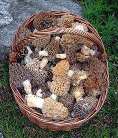Morel mushrooms. Yum!!