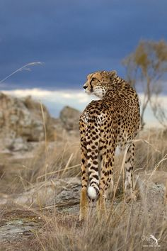 ♂ Wildlife animal photography Cheetah look back