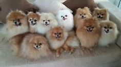 That is a lot of Poms!