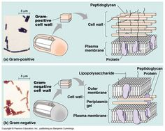 gram positive and negative Cell Biology, Molecular Biology, Plasma Membrane, Surgical Tech, Lab Tech, Cell Wall, Environmental Health, The Cell, Med School