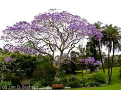 Love these Blue Jacaranda trees!
