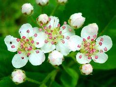 Hawthorn - May Birth Flower (USA)