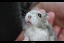Hamster in Hand Animal Photo