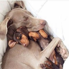 Harlow the Weimaraner and friend