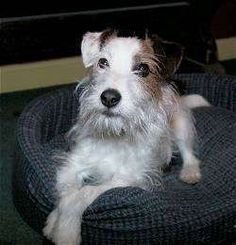 Parson Russell Terrier so sweet!