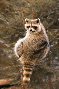 Raccoon by Roger Dan Cute Raccoon, Racoon, Beautiful Creatures, Animals Beautiful, Quokka, Tier Fotos, Save Animals, Funny Cute, Animal Kingdom