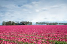 Noted: The Netherlands to Produce Two Billion Tulips in 2017    A Gardener's Notebook