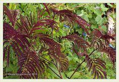 Garten W in W: Albizia julibrissin 'Summer Chocolate' | 2013-06 | Flickr - Photo Sharing!