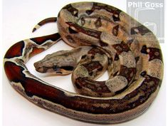 Colombian Boa Constrictor Care Sheet