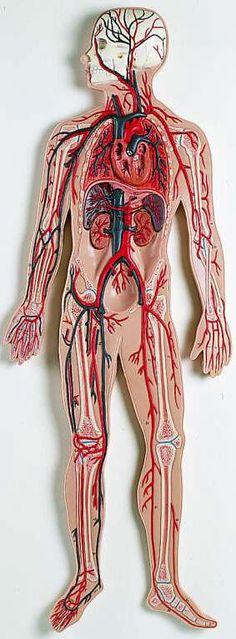 circulatory system Más