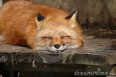 Resultado de imagem para raposa vermelha