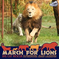 MARCH FOR LIONS! Join us on March 15th at 12 PM for a 2k walk through Big Cat Rescue's 65-acre sanctuary that is home to more than 100 big cats in Tampa, FL!  Meet our resident lions JOSEPH, CAMERON and NIKITA as well as tigers, leopards, bobcats, cougars and more! Learn about lions and what you can do to protect them in captivity and in the wild.  To learn more about the event and register to participate: http://bigcatrescue.org/march-lions/