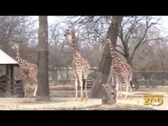 The weather is warm enough in Chicago for the giraffes to go outside and 2-year-old Potoka was so excited. Brookfield Zoo, on YouTube.