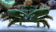 2 - Emerald crab (Mithrax sculptus) - I was a little concerned they might be terrors but they seem to be great at cleaning my live rock. They just look scary.