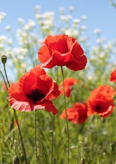 Poppies by Taras Lesiv on Fivehundredpx Flowers Nature, Wild Flowers, Flower Pictures, High Pictures, Red Poppies, Pansies, Flower Art, Flower Power, Flower Arrangements