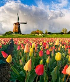 Keukenhof Gardens located in Lisse, Netherlands is the second-largest garden in the world, covering 79 acres. Amazing Flowers, Land Art, Fields, Vineyard, Vine Yard, Vineyard Vines