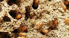 Termites are destructive pests, and can cause considerable damage around the house. Pest Control a call immediately if you think you have a termite infestation. We'll get rid of the termites before they cause too much damage. Termite Damage, Termite Control, Bug Control, Pest Control, Diy Termite Treatment, Signs Of Termites, Nester, Termite Inspection, Insects