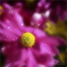 Fotografías artísticas. Flor con gotas de agua F00515 de Wifred Llimona para decorar