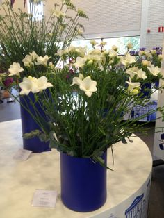 Giant bright white #freesia 'Corvette' : winner of the Jan Goemans Freesia Trophy 2014.