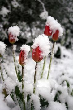 Tulips In The Snow   Flickr - Photo Sharing!