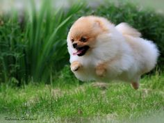 aww flying pomeranian