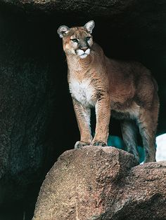 Colorado Mom Saves Son, 5, from Mountain Lion Attack, Officials Say http://www.people.com/article/mountain-lion-attack-colorado-5-year-old-boy