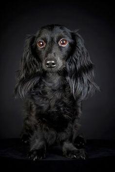 Dachshund, Black on Black.   #dogs #dachshund