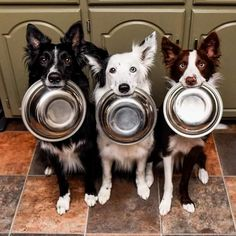 Will you feed us, please? Border Collie Humor, Collie Dog, Great Barrier Reef, Beautiful Dogs, Animals Beautiful, I Love Dogs, Cute Dogs, Blue Merle Collie, Perth