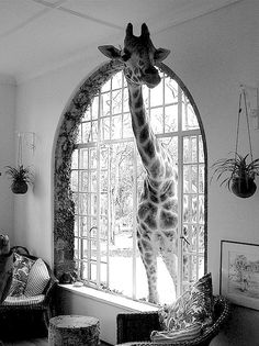 Yip, that is a real live giraffe. Giraffe House, just outside Nairobi. Baby Animals, Funny Animals, Cute Animals, Wild Animals, Jungle Animals, Funny Cats, Beautiful Creatures, Animals Beautiful, Ways Of Seeing