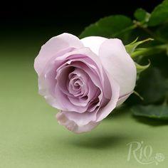Rio Roses: Purple Rain