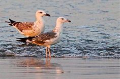 Rare sights of beautiful birds that arrive at the Sea View beach in Karachi. Clifton Beach, Beautiful Birds, Sea, Popular, Animals, Animais, Animales, Animaux, Most Popular