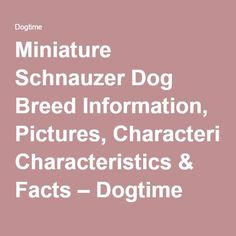 Miniature Schnauzer Dog Breed Information, Pictures, Characteristics & Facts – Dogtime