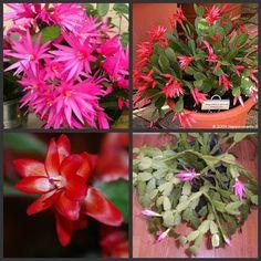 Jardim da Grasi: Diferenças entre flor-de-maio e flor-de-outubro