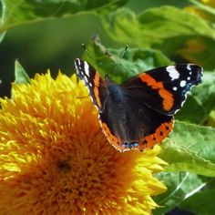 "A #wednesdaywisdom ... The ancient Greek name for a butterfly was ψυχή ... it is the same word that they used for the human soul and we all knew it as Psyche. The cocoons were named νεκύδαλλο what means ""Shell of the dead"". They believed that the soul will be reborn with butterfly wings freed from the body it can fly high.  I love to say that the idea that  our soul can be reborn in the most beautiful colors after every hurt is more symbolic for me. Let's switch death with hurt and so never…"