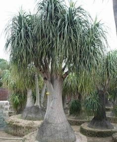 Beaucarnea recurvata (elephants foot, ponytail palm) is a species of plant in the family Asparagaceae, native to the states of Tamaulipas, Veracruz and San Luis Potosí in eastern Mexico. Description from imgarcade.com. I searched for this on bing.com/images