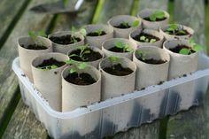 Zaadjes erin en ze kunnen zonder overplanten in de volle grond gezet worden met wc rol en al. Door Laga