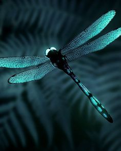 turquoise dragonfly by carter flynn Dragonfly Art, Dragonfly Tattoo, Dragonfly Images, Beautiful Creatures, Animals Beautiful, Cute Animals, Beautiful Bugs, Beautiful Butterflies, Beautiful Dragon