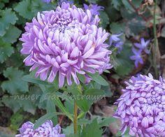 Paeonien-Aster Violett Callistephus chinensis